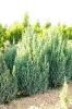 """Juniperus chinensis """"Stricta"""""""