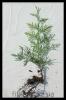 sadzonka goły korzeń-1